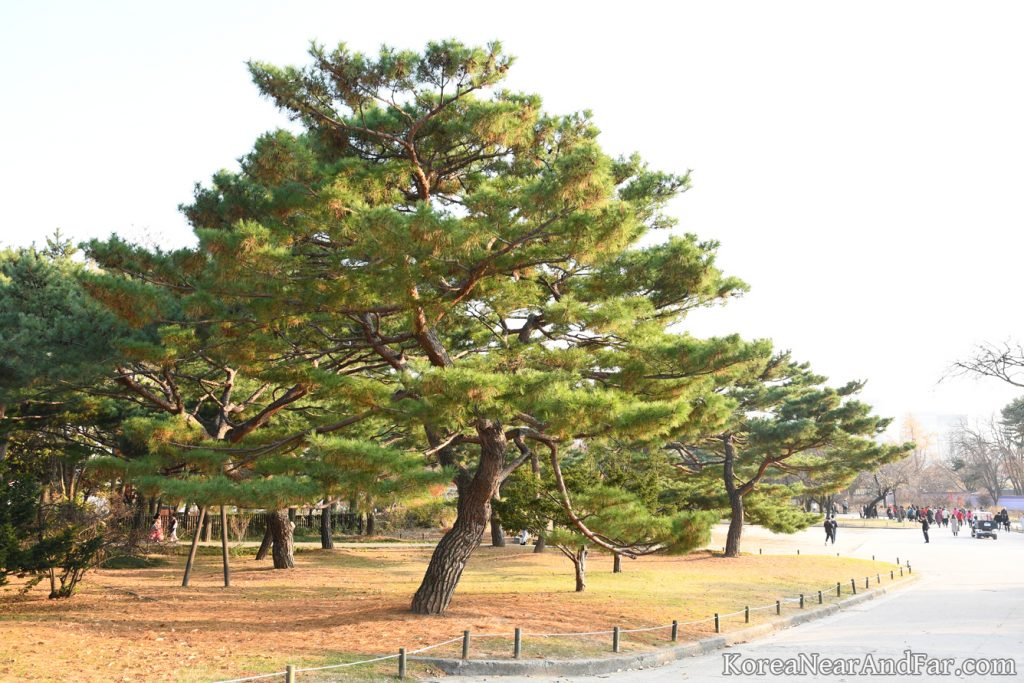 Ole pine trees at Gyeongbokgung  Seoul South Korea