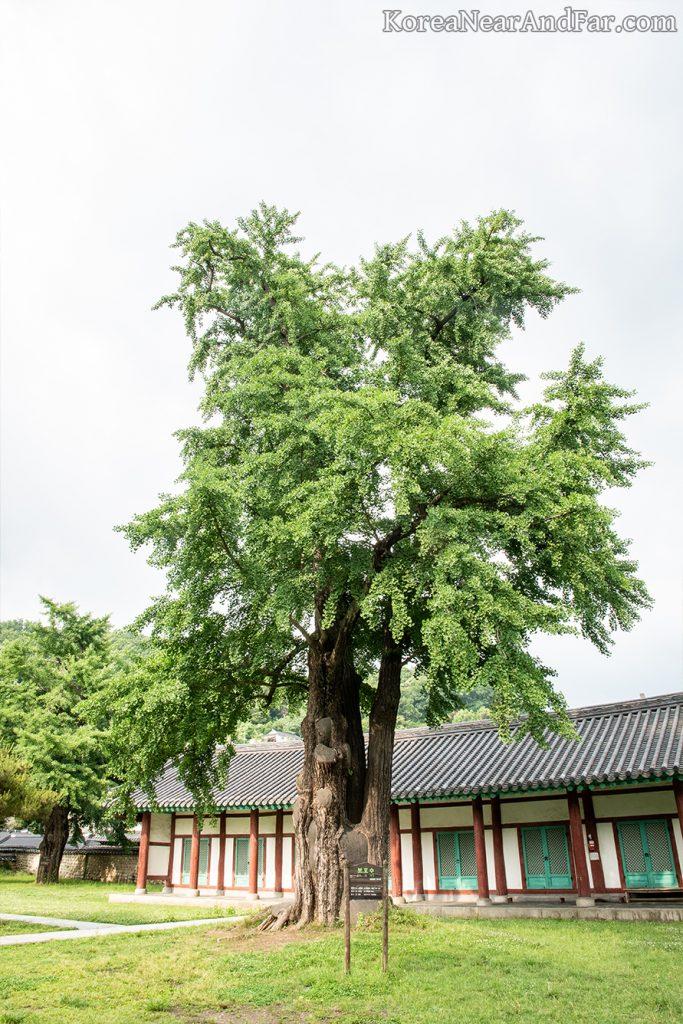 Ginkgo trees at Jeonju Hyanggyo, Jeonju, South Korea